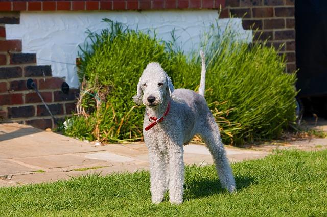 Bedlington Terrier, carattere e prezzo - Razze cani