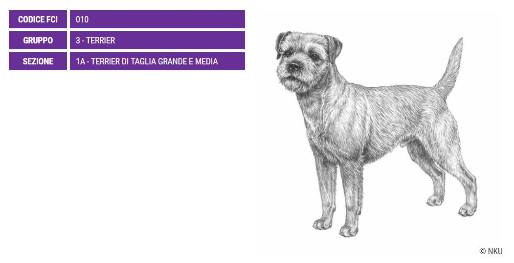 Border Terrier, carattere e prezzo - Razze Cani