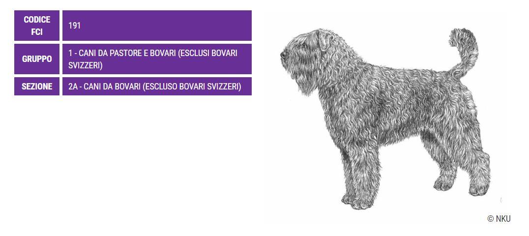 Bovaro delle Fiandre, carattere e prezzo - Razze cani
