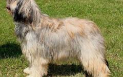 Cane da Pastore Catalano, carattere e prezzo - Razze cani