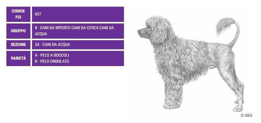 Cao de Agua, carattere e prezzo - Razze cani