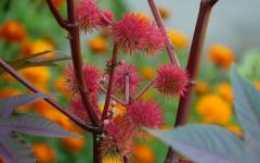 Ricino: una planta que debes conocer muy bien