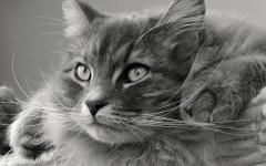 Siberiano: conoce a esta interesante raza felina