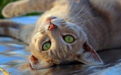 Congiuntivite nel gatto: test diagnostici da fare