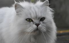Alergia a los gatos: una afección común