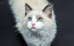 Gatti e diffusori di feromoni felini: funzionano?