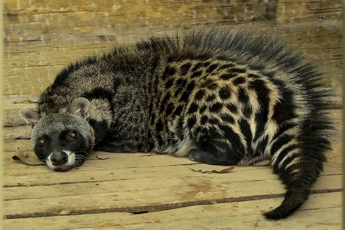 A Civet Cat: Are they really cats?