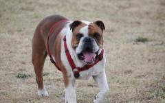 Collar adiestramiento perro: ¿recomendables?