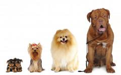 Cani di taglia grande muoiono prima di quelli piccoli: perché?