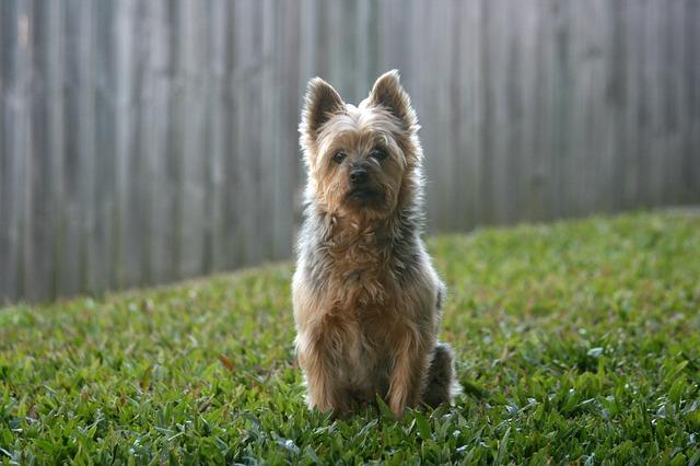 Australian Silky Terrier, carattere e prezzo - Razze cani