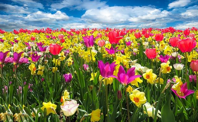Tulipano: bulbo pericoloso per gli animali