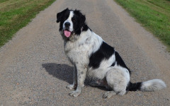 Perro gigante: las razas de perro más grandes del mundo