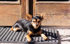 Cane che gratta le porte: le cause e cosa fare