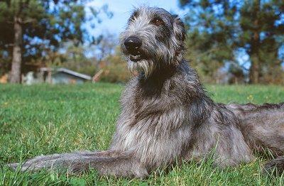 Deerhound, carattere e prezzo - Razze cani