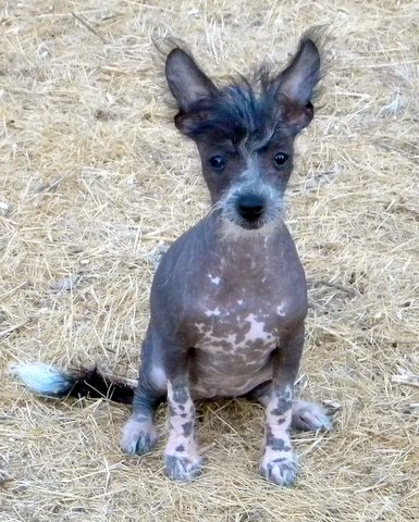 Mexican Hairless Dog (Xoloitzcuintli)