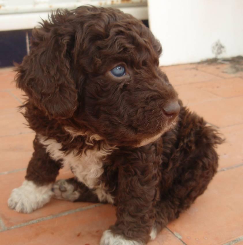 Perro de agua cachorro: un adorable canino