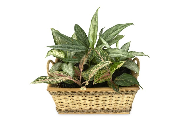 Dieffenbachia - Big Leaves with Big Grief