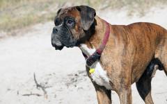 Razze di cani più adatte alla guardia e alla famiglia