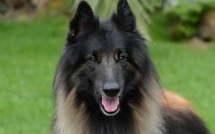 Perro pastor belga: unos hermosos caninos ovejeros