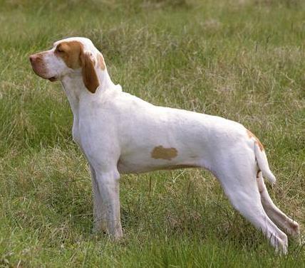 Bracco d'Ariege carattere e prezzo - Razze cani