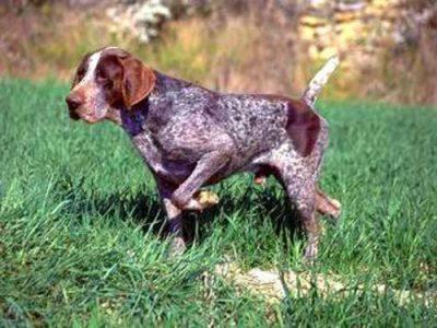 Bracco di Burgos, carattere e prezzo - Razze cani