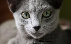 Gato ruso: inteligencia felina del gato azul ruso
