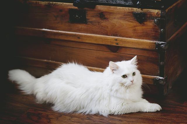 Gatos blancos: todo lo que hay que saber