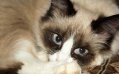 Malattie respiratorie nel gatto: cause, sintomi e terapia