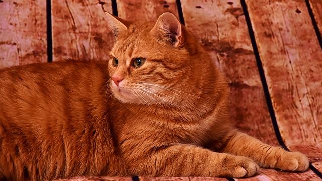 Gato naranja: conocemos estos graciosos y raros felinos