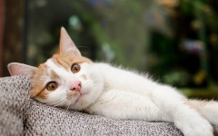 Malattie fegato dei gatti: quali sono e come curarle