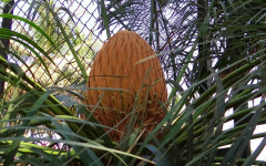 Sago Palm - Nice Ornament but Dangerous to your Pets