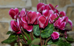 Cyclamen and its Toxicity in Dogs and Cats