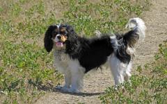 Cane scodinzola: varie posizioni della coda