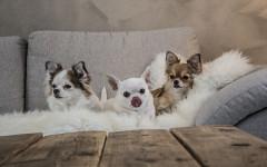 Raza de perros pequeños: los chiquitines de la casa