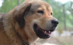 Perro tibetano: un perro colmado de mucho misticismo