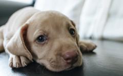 IBD nel cane: come capire chi ne può soffrire?