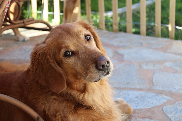 Perro Golden Retriever: excelente compañero