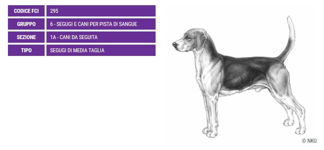 Harrier, carattere e prezzo - Razze cani