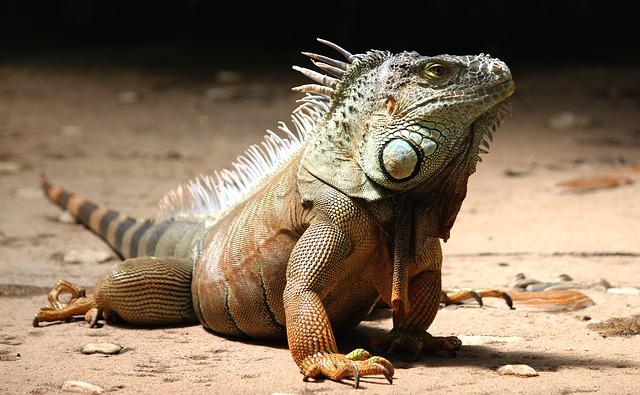 Iguana, caratteristiche e abitudini di questo animale