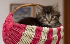 Gatti riconoscono la voce dell'umano? Sì, ma la ignorano!