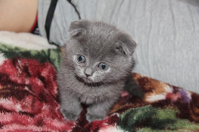 Gato persa gris: belleza felina inigualable
