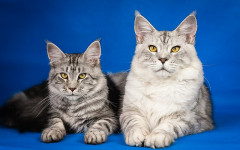 Gatos grandes: las razas de gatos más grandes del mundo