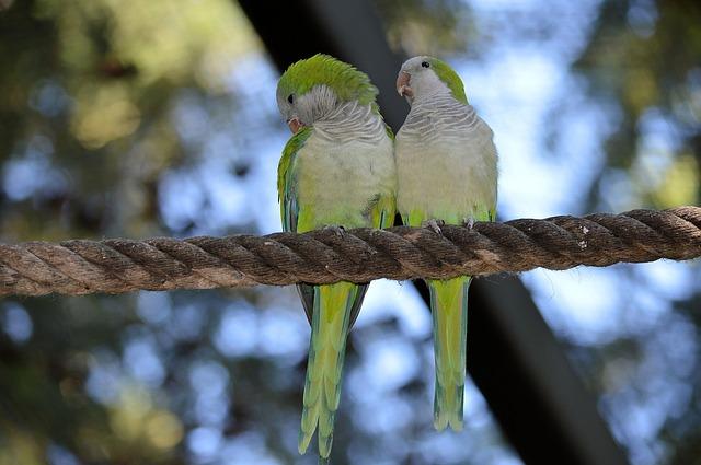 Agapornis, la storia dei pappagalli inseparabili