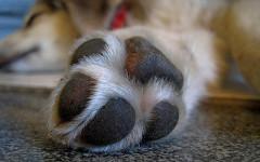 Polpastrelli dei cani odorano di popcorn: perché?