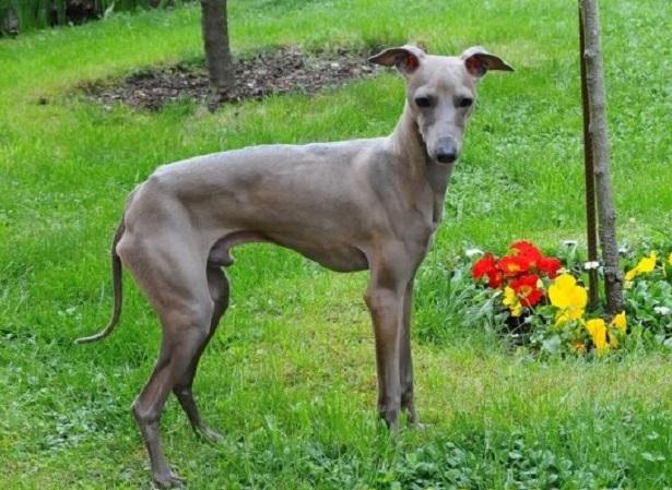 Piccolo levriero italiano, carattere e prezzo - Razze cani