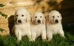 E' possibile che la stessa cucciolata abbia paternità diverse?