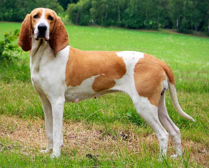Segugio svizzero, carattere e prezzo - Razze cani