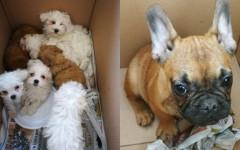 Sequestrati cuccioli di cane trasportati in gabbie per polli