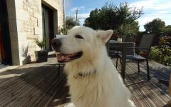 Pastore Svizzero Bianco, carattere e prezzo - Razze cani