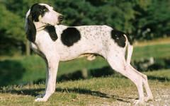 Ariegeois, carattere e prezzo - Razze cani